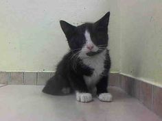 TO BE DESTROYED 7/29/14<br />Brooklyn Center<br /><br />My name is CORNELIOUS. My Animal ID # is A1007939.<br />I am a male black and white domestic sh mix. The shelter thinks I am about 10 WEEKS old.<br /><br />I came in the shelter as a STRAY on 07/24/2014 from NY 11435, owner surrender reason stated was STRAY.<br /><br />MOST RECENT MEDICAL INFORMATION AND WEIGHT<br />07/26/2014 Exam Type RE-EXAM - Medical Rating is 3 C - MAJOR CONDITIONS , Behavior Rating is NONE, Weight 2.2 LBS.<br ...