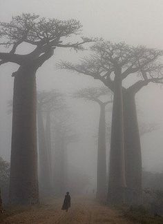 "Shogo Asao.""Baobab tree-lined street covered by a dense fog just after sunrise, Magadascar"