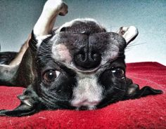 Never underestimate the character of a Boston Terrier