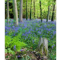 Bluebells in Slindon, West Sussex