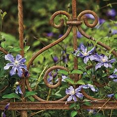 Clematis on beautiful old rusted fence
