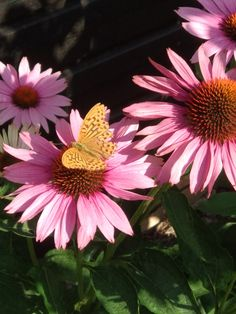 Punahattu (Pink coneflower) and a visiting butterfly. Finland, Garden Design, Butterfly, Plants, Pink, Hot Pink, Landscape Designs, Bowties, Plant