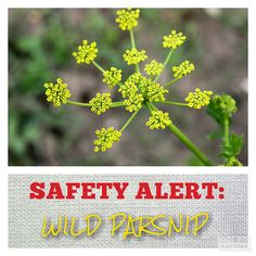Skeletonex | SAFETY ALERT: Wild Parsnips  Wild parsnip plants are often found amongst wildflowers and along ditches.  This plant looks similar to other non-poisonous plants, but wild parsnips are highly poisonous. Please read this article to become more knowledgeable on this plant and avoid wild parsnip rash, burns, and blisters that come from contact.