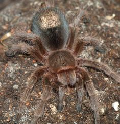 Arizona Desert Tarantula (Aphonopelma chalcodes) an easy to care for tarantula. Opted for this one instead of another pink toe which requires ample humidity and more monitoring/care. Will ship from California on Tues!