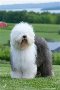 The Old English Sheepdog - is a large breed of dog which was developed in England from early herding types of dog. The Old English Sheepdog can grow a very long coat, with fur covering the face and eyes. Beautiful Dogs, Animals Beautiful, Cute Animals, Fluffy Animals, Pet Dogs, Dog Cat, Sheep Dogs, Sheep Dog English, Old English Sheepdog Puppy