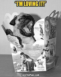 Pugzilla meet McDonald's!  www.jointhepugs.com  #pug #pugpower    Pug meets McDonalds