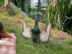 ▶ Aflac Commercial Duck VS Pigeon Rap - YouTube
