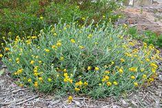Chrysocephalum Apiculatum - (Common Everlasting) x - Din San Nursery Plant Database Australian Native Garden, Australian Native Flowers, Australian Plants, Planting Shrubs, Landscaping Plants, Planting Flowers, Landscaping Design, Front Yard Plants, Outside Plants