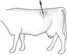 bloat in cattle