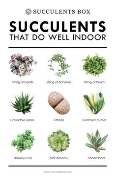 10 types of succulents that work well indoors - Haus und heim - Pflanzen Growing Succulents, Cacti And Succulents, Growing Plants, Planting Succulents, Planting Flowers, Propagating Succulents, Cactus Plants, Caring For Succulents Indoor, Low Light Succulents
