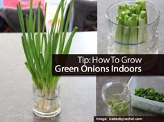 To create your own green onion plant simply put the leftover bulbs from any green onion in a glass with water