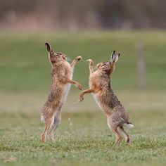 Boxing Hares (by Pim leijen)