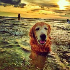old goldens are the best