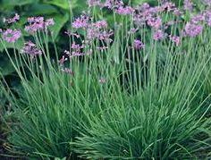 Wild Garlic - 300 done Done Wild Garlic Plant, Garden, Plants, Garten, Lawn And Garden, Gardens, Plant, Gardening, Outdoor