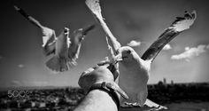 istanbul's eyes by Yaşar Koç - Photo 170158967 - 500px.  #500px #blackandwhite #schwarzweiss #noiretblanc #siyahbeyaz #monochrome #istanbulseyes #turkey #martılar #seagulls #birds #animals #augsburg #münchen #ulm #stuttgart #frankfurt #istanbul #ankara #izmir