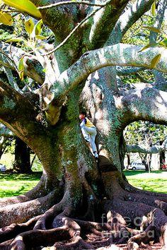 Boy climbing a tree at one tree hill, auckland, new zealand,