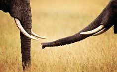 Success! Historic Step Taken to Protect Elephants