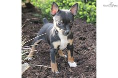Free Toy Fox Terrier | Lacey, Female, $325