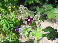 Gemeine Ochsenzunge (Anchusa officinalis)
