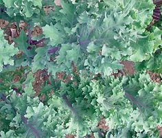 Growing Your Own Kale in the Garden - The Cheap Vegetable Gardener