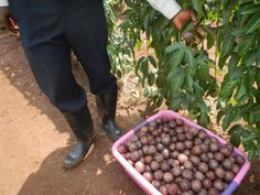 (8) The passion fruits of our labor. Photo August 14, 2012