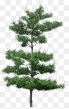 Pine Tree Png 23 Ideas Tree Textures Tree Painting Canvas Tree Drawing