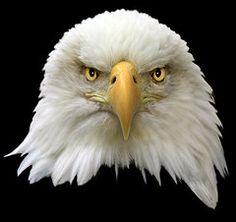 American Eagle Photographs - Bald Eagle  by Shane Bechler