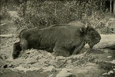 Caucasian Bison extinct 1800's