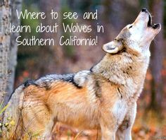 Where to see and learn about Wolves in Southern California!  Groupon currently has a deal going on where you can visit the California Wolf Center in beautiful Julian, California for either 2 or 4 people.  Take advantage of this deal before it gone! #wolves #wolf