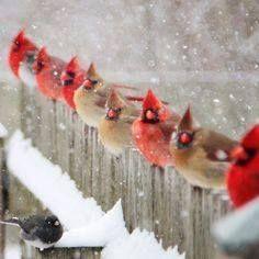5 Red Cardinals