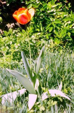 Tulipano by L.Spagnolo