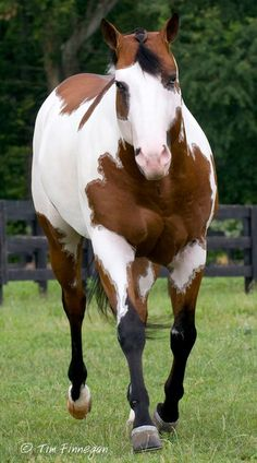 halter-pleasure-horses:  Hot Lopin Sensation , he's such a sweet stud!
