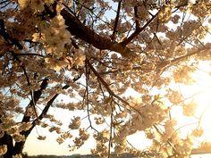 Cherry BlossomsDC10_MQ2013