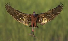 white faced ibis - Google Search