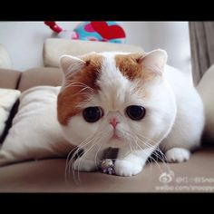 Snoopy the cat. (This boy is very real! XD He is an exotic shorthair.)