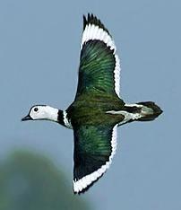 Cotton Pygmy Goose male