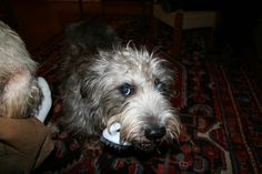 Glen of Imaal Terrier Irish Dog Breeds, Glen Of Imaal Terrier, Scruffy Dogs, New Puppy, Mans Best Friend, Terriers, Doggies, Puppies, Teak