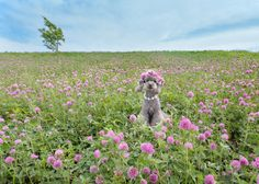 Hill covered with Red clover.