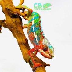 Ambilobe Panther chameleons for sale online, buy baby ambilobe panther chameleon for sale online panther chameleon breeder baby panther chameleon for sale. Chameleons For Sale, Baby Panther, Pet Care, Chameleon Pet, Pets, Animals, Animales, Animaux, Animal