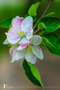 Apple Blossoms by Senthil Seran on Apple Blossom Flower, Peach Blossoms, Spring Blossom, Apple Blossoms, Flowers Nature, Spring Flowers, Flower Petals, Flower Art, Amazing Flowers