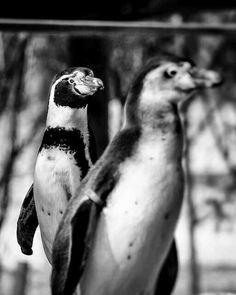 #humbolt #penguin #blackandwhite #Olympus