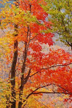 Sugar Maple Tree Picture [Slideshow]