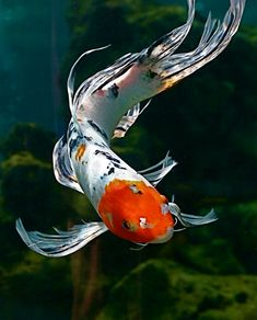 Koi.  Photography by Chi Liu on Flickr