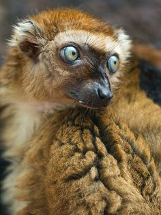 Female Sclaters Lemur [aka Blue-eyed lemur] by Tambako the Jaguar