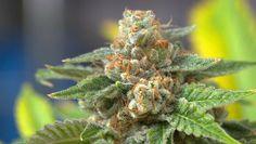 Regularne palenie marihuany zmniejsza ilość dopaminy uwalnianej przez mózg - Stylnazdrowie.pl