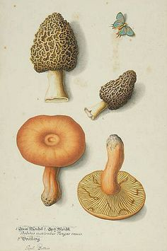 Unknown (European)  Study of Mushrooms  19th century