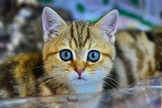 British kitten - British kitten color Golden chinchilla
