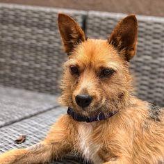 Juno the magnificent. Pup, Corgi, Adoption, Inspirational, Animals, Instagram, Foster Care Adoption, Corgis, Animales