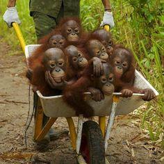 """A Barrel of Monkeys"" Baby orangutans, International Animal Rescue Center, Ketapang, West Kalimantan, Indonesia. Cute Baby Animals, Animals And Pets, Funny Animals, Animal Babies, Wild Animals, Fur Babies, Animal Rescue Center, Baby Orangutan, Borneo Orangutan"