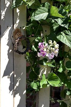 Snail Vine - - Grow it if you live where you can, too lovely to miss